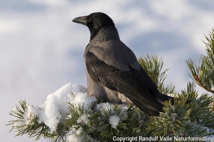 Kråke i furu med snø ---- Crow in pine with snow