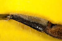 Honigbiene, Hinterbein, Sammelbein zum Sammeln von Pollen, Innenseite der Tibia, Honig-Biene, Biene, Apis mellifera, Apis mellifica, honey bee, hive bee