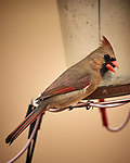 Northern Cardinal (female). Image taken with a Nikon D5 camera and 600 mm f/4 VR lens (ISO 640, 600 mm, f/4, 1/1250 sec).