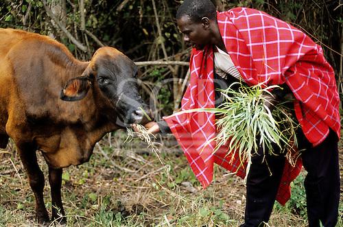 Lolgorian, Kenya. Leonard, a Siria Maasai man feeding a cow with a medicinal plant used to treat foot and mouth disease.