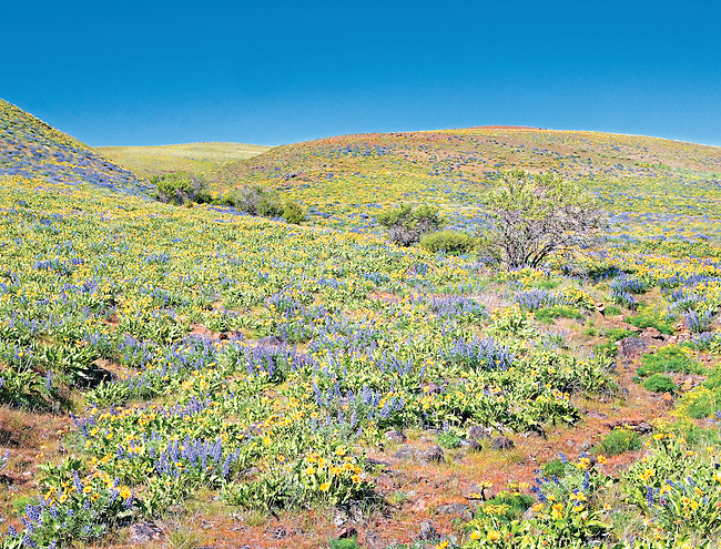 Blooming Lupine and Balsom Root on Brilliant Sunny Spring Day, Columbia Hills Preserve, Columbia River Gorge, Washington State