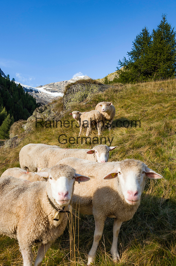 Switzerland, Canton Valais, Fafleralp im Loetschental: sheep at mountain pasture, at background Bernese Alps | Schweiz, Kanton Wallis, Fafleralp im Loetschental: Schafe auf Almwiese, im Hintergrund die Berner Alpen