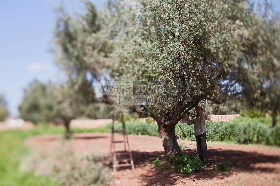 Afrique/Afrique du Nord/Maroc/Env d' Essaouira/Ounagha: Domaine: Le Val d'Argan - Taille des oliviers de l'oliveraie bio