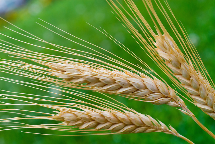 Barley, cereal grain, dried sheaf, Hordeum vulgare, grass family . Open Source Seed Initiative