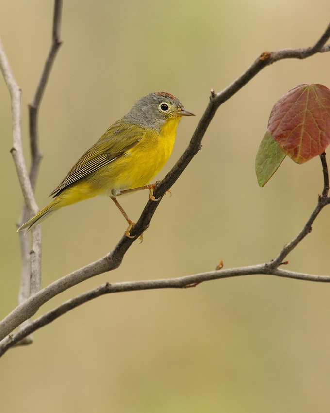 "The Nashville Warbler is closely related to the Orange-crowned Warbler. The two species are similar in size and shape. The western population was once considered a separate species, called the ""Calaveras Warbler."""