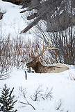 USA, Wyoming, Yellowstone National Park, a large bull elk is bedded down in the snow near Undine Falls