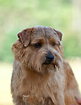 Norfolk Terrier<br />