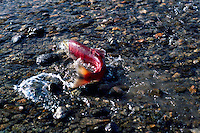 Annual Adams River Sockeye Salmon Run (Oncorhynchus nerka), Roderick Haig-Brown Provincial Park near Salmon Arm, BC, British Columbia, Canada - Tagged Fish returning to Spawn