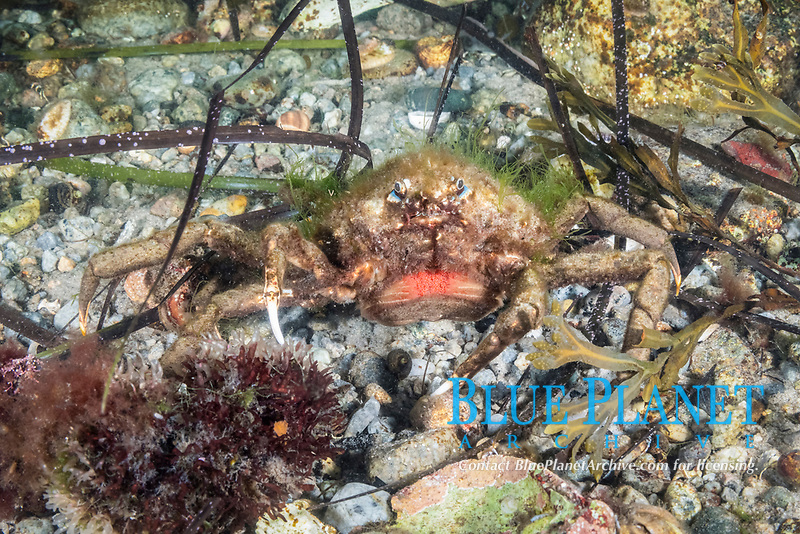 Portly Spider Crab, Libinia emarginata, Gloucester, Massachusetts, USA, Atlantic Ocean. Female carrying red eggs under abdomen.
