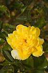 ROSA SUNNY TODAY, 'THE DAHLIA ROSE', FLORIBUNDA ROSE