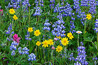 Wildflowers--lupine, arnica, mountain daisy and paintbrush--in subalpine meadow, Central Cascade Mountain Range, WA.  Summer.