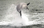 (2006)- Dingle's wild friendly dolphin known affectionetely as 'Fungi' and is over 50 years old according to local scientists. But even at 50 Fungi, as our pictures taken this weekend show, he is as sprightly as ever. Fungi arrived in Dingle bay in 1983 and has been seen by well over 3,000,000 tourists over the past 20 years. To this day Fungi can be seen swimming close to boats and doing 10ft flips in the harbour. Local tour operators charge 10 euro for a trip to see Fungi with the provisio that should you not see him you get your money back!. (very few people received a refund)..Fungi is as important to Dingle tourism as the lakes are to Killarney. Queues of over 100 people on the pier waiting forthe next boat trip are a daily sight during the month of August..Picture by Don MacMonagle