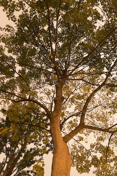 Upward View of Tree Illuminated at Night, Gramercy Park, New York City, New York State, USA