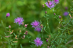 Brown knapweed growing in northern Wisconsin.
