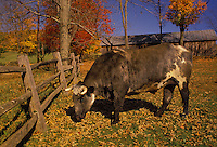Mixed breed bull grazing near split rail fence