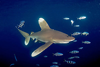 Oceanic whitetip shark, Carcharhinus longimanus, Mozambique Channel, Indian Ocean, Africa