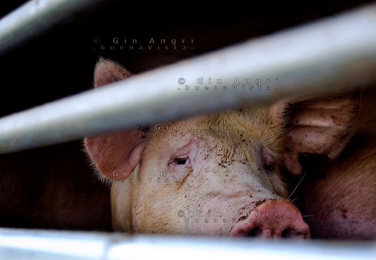 trasporto animali vivi, camion trasporto animali, maiali