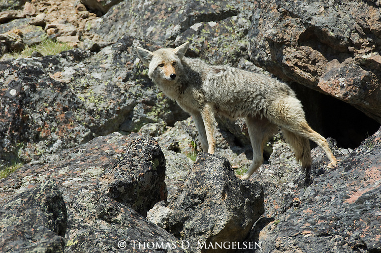 Coyote among rocks in Yellowstone National Park.