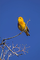 Yellow Warbler singing in Malheur NWR, Oregon