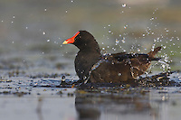 Common Moorhen (Gallinula chloropus), adult bathing, Sinton, Corpus Christi, Coastal Bend, Texas, USA