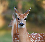 Whitetail fawn head shot