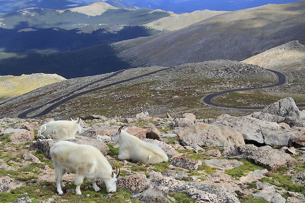 Mountain Goats graze next to the Mount Evans road, west of Denver.<br /> John leads private, wildlife photo tours to Mt Evans. Click the CONTACT button above for inquiries. .  John leads private, wildlife photo tours throughout Colorado. Year-round.