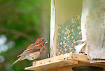 Rustic homemade bird feeder at Wildway with one house finch