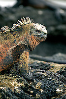 Found nowhere else on earth, marine iguana are the world's only sea lizards. Growing to nearly one meter, males feed on algae and are strong swimmers who can dive to a depth of 10m, and stay submerged for almost an hour.