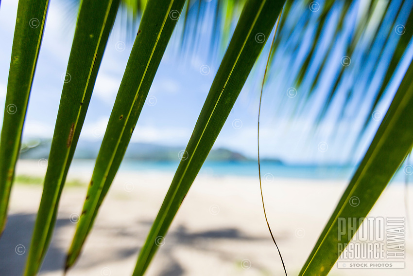 A close focus image of palm leaves, with a white sand beach and blue ocean of Hanalei Bay in the background, Kaua'i.