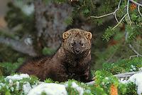 Fisher (Martes pennanti) sitting in doug fir tree.  Northern Rockies.