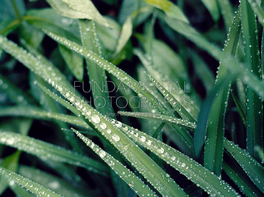 DEW ON GRASS<br /> Formation of Water Drops<br /> Demonstrates surface tension.