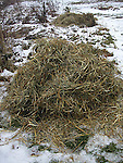 Rosebushes covered with straw for winter protection