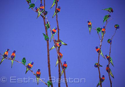 Rainbow Lorikeets (Trichoglossus haematodus) in roosting tree before sunset. Currumbin Sanctuary, Queensland