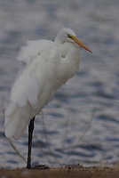A wild Common Egret seen on a windy overcast winter day, on the edge of a pond in Tucson Arizona.