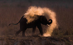 An elephant creates his own cloud of dust as he showers himself in the dusk light.  The Indian elephant was using the mud and dust by a river to cool down at the end of a hot day.<br /> <br /> Amateur photographer Trikansh Sharma managed to capture the moment during the last light of the day at Jim Corbett Tiger Reserve, India's oldest national park.  SEE OUR COPY FOR DETAILS.<br /> <br /> Please byline: Trikansh Sharma /Solent News<br /> <br /> © Trikansh Sharma /Solent News & Photo Agency<br /> UK +44 (0) 2380 458800