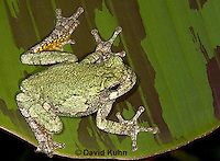 "0917-07mm  Gray Tree Frog - Hyla versicolor ""Virginia"" © David Kuhn/Dwight Kuhn Photography"