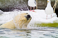 polar bear, Ursus maritimus, young male, diving to reach and feed on a whale carcass in Holmabukta on the northwest coast of Spitsbergen in the Svalbard Archipelago, Norway, polar bear, Ursus maritimus