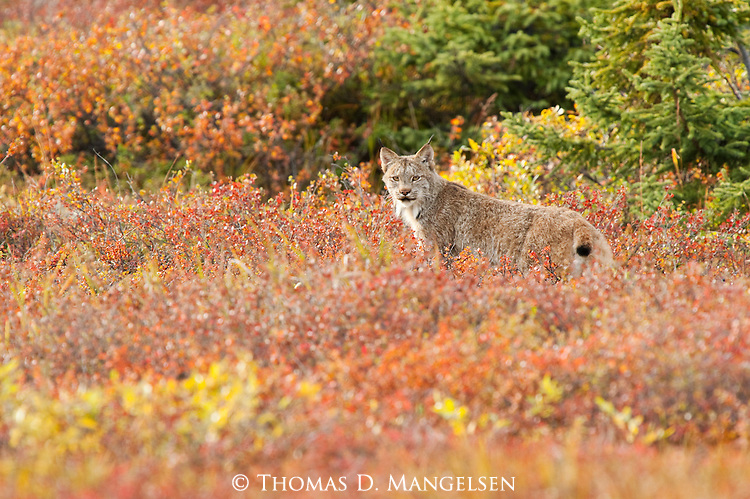 A Canada lynx walks among the vivid autum-colored brush in Denali National Park, Alaska.