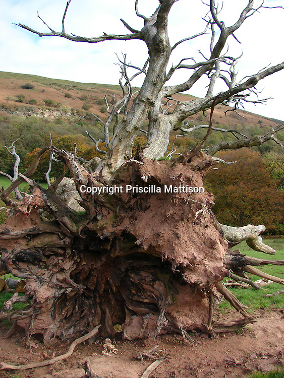 Llanthony, Wales - November 2, 2006:  In the Welsh hills, a toppled tree reveals its roots.