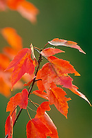 Close up of red maple (acer rubrum) Vermont USA