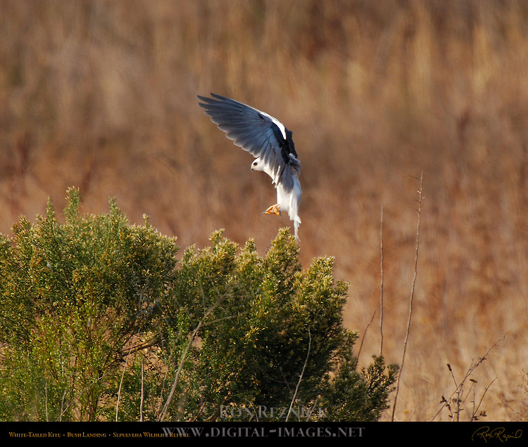 White-Tailed Kite, Bush Landing, Sepulveda Wildlife Refuge, Southern California