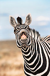 Burchell's zebra stallion, Equus burchelli, exhibiting flehmen display to sense females, Etosha national park, Namibia