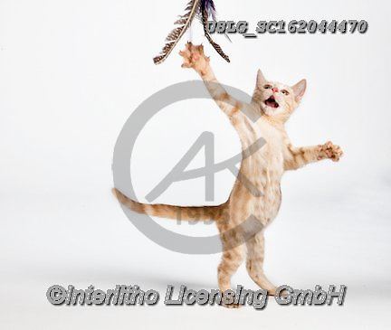 REALISTIC ANIMALS, REALISTISCHE TIERE, ANIMALES REALISTICOS, cats, paintings+++++,USLGSC162044470,#A#, EVERYDAY ,photos,fotos,pounce,cat,cats,kitten,kittens,Seth