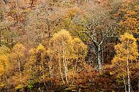 Autumn Forest, Scotland