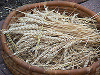 Winter wheat from Joan Gussow's garden