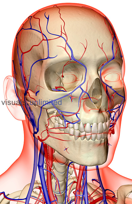 An anterolateral view (right side) of the blood supply of the head and neck. The surface anatomy of the body is semi-transparent and tinted red. Royalty Free