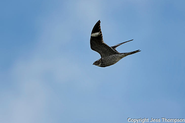 Common Nighthawk in flight, San Angelo State Park, TX