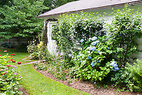 Blue hydrangeas in flower, medium shot of plant with many flower heads, against house, with lawn and annual zinnias, garden bed foundations plantings in backyard