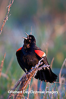 01603-025.14 Red-winged Blackbird (Agelaius phoeniceus) male singing-displaying in wetland Marion Co. IL