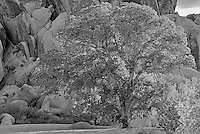 California Blue Oak, Joshua Tree National Park, California